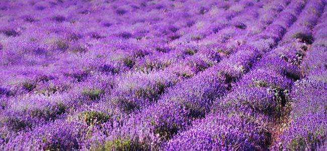 Die Lavendelfelder Pb7dh7ld