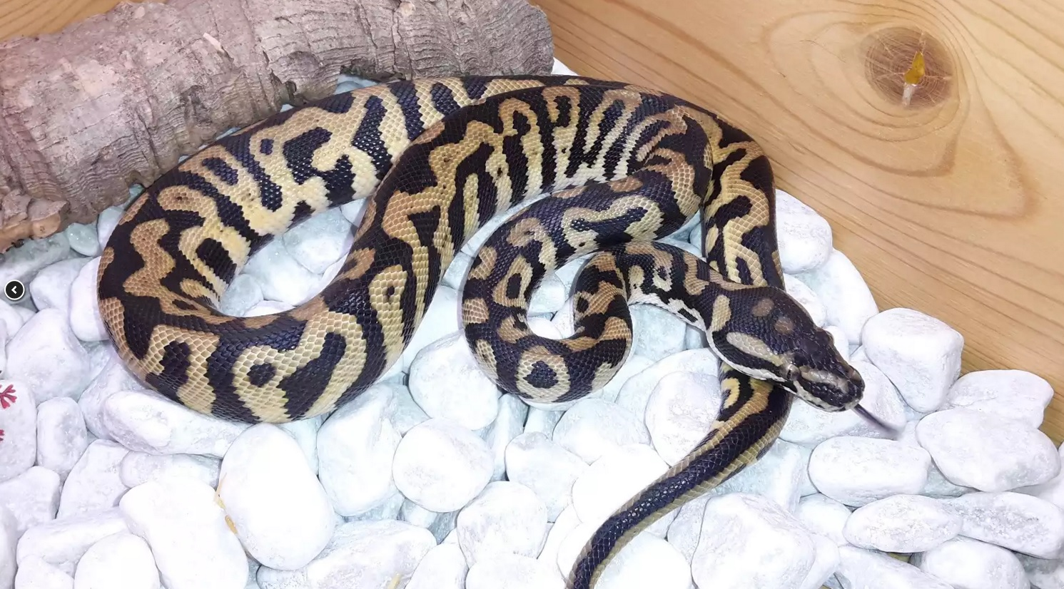 Could get one of those hybrid pythons (carpet X ball) - sSNAKESs : Reptile Forum