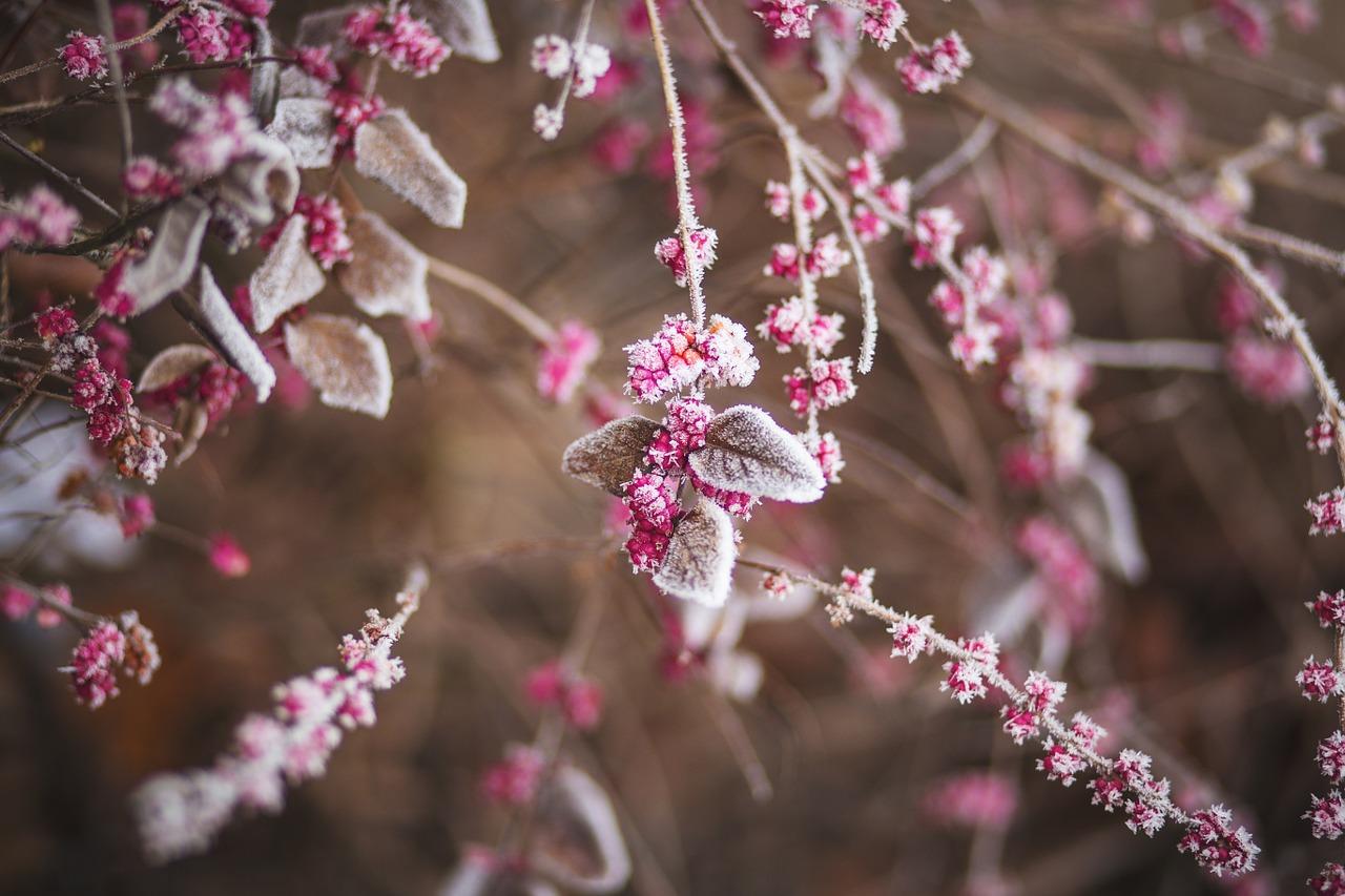 rosa Beeren mit Rauhreif