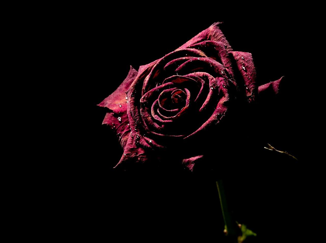 Dunkelrote Rose vor schwarzem Hintergrund