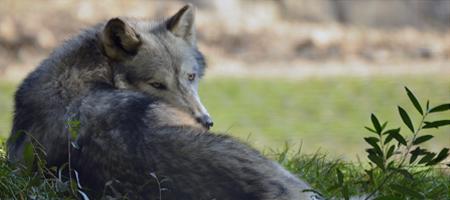Bild eures Wolfes