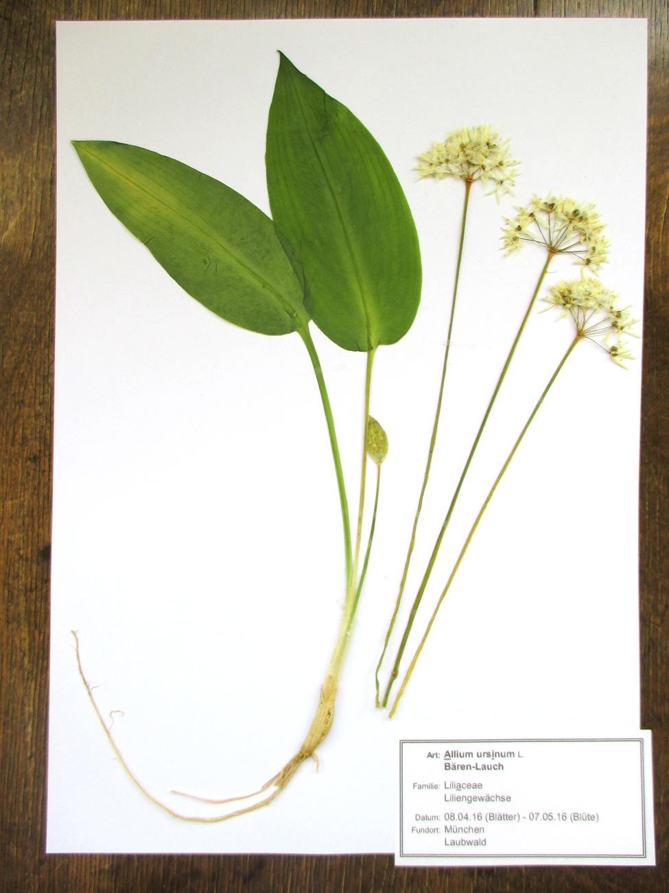herbar herbarium 10 pflanzen fr hjahrsbl her ebay. Black Bedroom Furniture Sets. Home Design Ideas